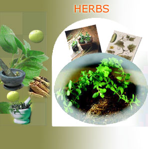 herbs suppliers india,herbs exporters,indian herbs manufacturers