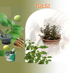 tulsi suppliers india,Indian herbs suppliers,herbs exporters,tulsi herbs manufacturers,tulsi exporters india